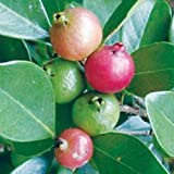 Psidium littorale or cattleianum Strawberry AKA Cattley Guava LIVE PLANT