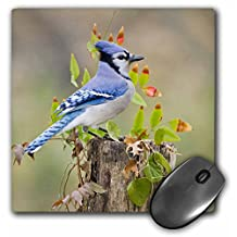 Blue jay bird, adults, Autumn, Texas, USA - US44 LDI0795 - Mouse Pad, 8 by 8 inches (mp_146920_1)