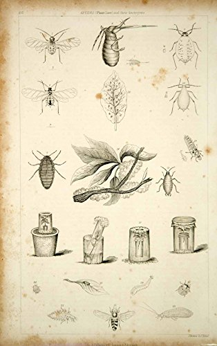 1852-steel-engraving-antique-aphids-plant-lice-ladybug-wasp-insect-pest-bugs-fd1-original-steel-engr