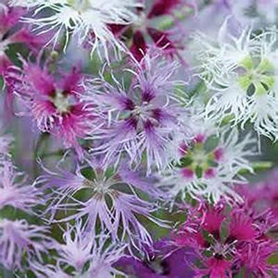 Dianthus RAINBOW LOVELINESS MIX-(3) Live Perennial Flower Plants-INTOXICATINGLY FRAGRANT-Heirloom-Organic-Super HardyHeirloom