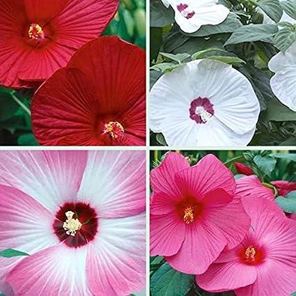 Green Gardens Rare Hibiscus Seeds Luna Mix Mix Of Luna Red Luna
