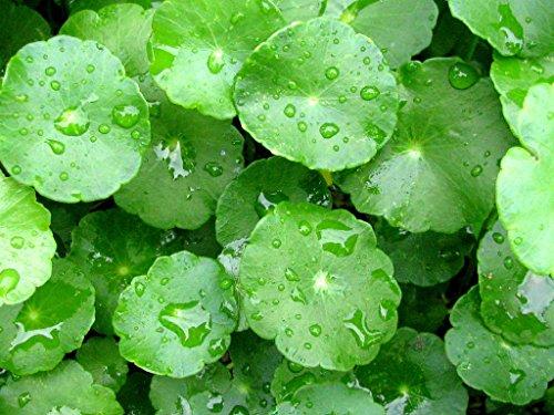 Centella Asiatica - Gotu Kola - Rare Tropical Plant Seeds...