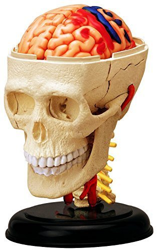 4D Vision Human Anatomy - Cranial Skull Model (Nervous System Model)