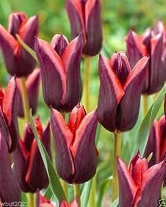 10 Muvota Triumph Tulip (Bulbs),a dark purple tulip,lovely orange edges flower