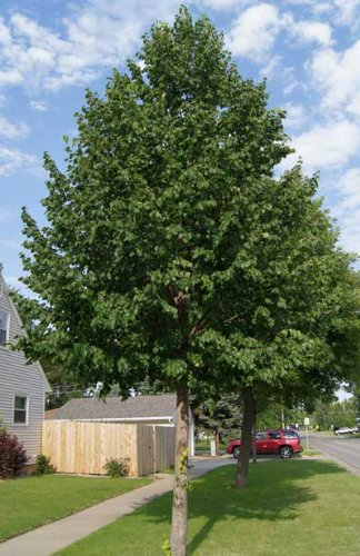 Brighter Blooms Fast Growing Hybrid Poplar Potted Shade Tree