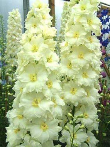 (50 Yellow White Delphinium Mix Seeds Perennial Garden Flower Bright Sun)
