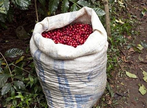 5 Lbs Guatemala Pena Blanca Unroasted Green Coffee Beans