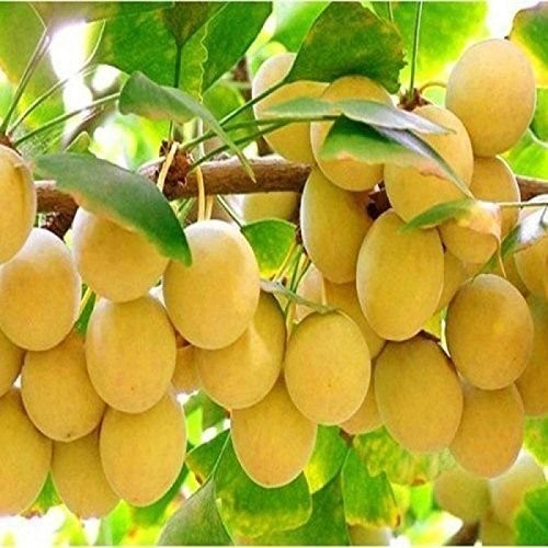 4 Pound (1816 grams) Vacuum packaged gingko fruit Grade A from China (中国白果银杏) by JOHNLEEMUSHROOM RESELLER (Image #3)