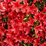 Azalea Rhododendron 'Red Formosa' Qty 40 Live Flowering Evergreen Plants
