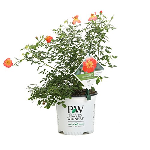 Oso Easy Hot Paprika Landscape Rose (Rosa) Live Shrub, Orange Flowers, 1 Gallon