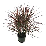 AMERICAN PLANT EXCHANGE Dracena Marginata Madagascar Dragon Tree Indoor/Outdoor Live, 1 Gallon, Cleans Air of Toxins!