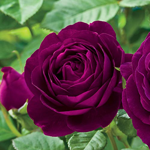 Own-Root One Gallon Twilight Zone Grandiflora Rose by Heirloom Roses by Heirloom Roses (Image #1)