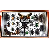 Real Display Insect Taxidermy Big Set in Box for Collectible Gift #02