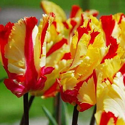 Flaming Parrot Tulip (Bulbs),12/+cm, Big Blooms Excellent for Bouquets Flowers in Late Spring (10 Bulb) by VioletSeeds ()