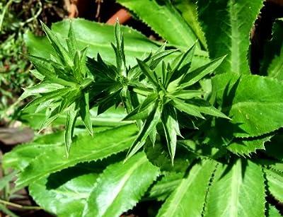 Recao, Culantro, Cilantro ancho, Mexican coriander (Eryngium foetidum) 200++ Qty Seeds Pack