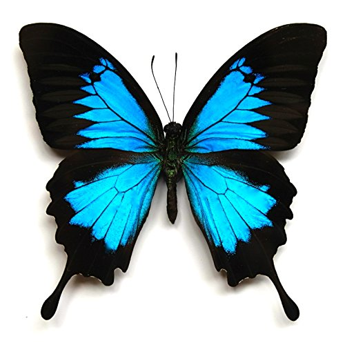 amazon com real butterfly wing necklace papilio ulysses blue