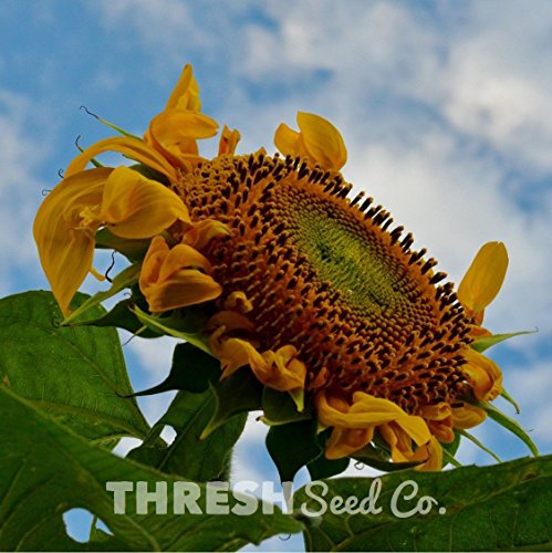 Sunflower-Mammoth-Grey-Stripe-50-seeds-Free-Gift -