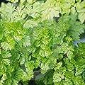 Chervil Seeds, Heirloom, Organic, Non-GMO, 1000+ Chervil Seeds,