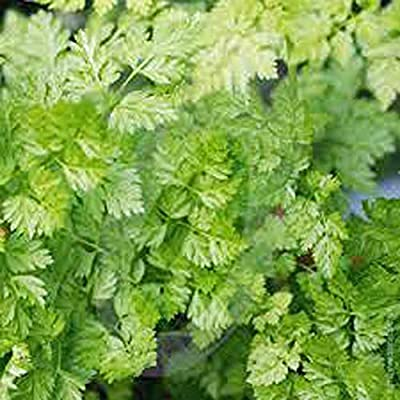 Chervil Seeds, Heirloom, Organic, Non-GMO, (500 Seeds) Chervil Seed TND-282