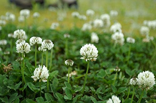 White Dutch Clover - White Clover Seeds, Nitro-Coated and Inoculated, 1 Pound