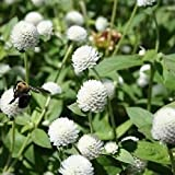Gomphrena White Globe Flower Seeds (Gomphrena Globosa) (50)