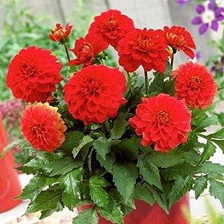 AGROBITS 10 P Red Dahlia Semi Bella pianta casa della Decorazione del Giardino Bonsai Semi Pot