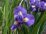 Iris, Bulb (Ten Pack) Twilight, Purple Perennial Iris Bulbs, Flowers