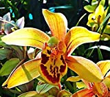 Orchid Insanity -Cymbidium California Dreamin - Bold Blooms, Easy to Grow, Warm Tolerant. NOT in Bloom/Bud When Shipped