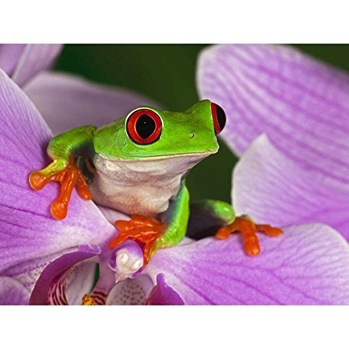 - Red Eyed Tree Frog R1 - Wildlife Animal Art Print Poster Wall Decor Home Decor(40x30inches)