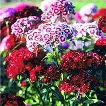 Dianthus Barbatus Sweet (Outsidepride Dianthus Sweet William Mix - 5000 Seeds)