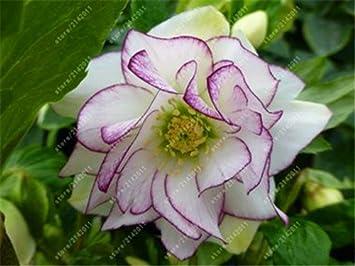 100 Pcs Sac Hellebore De Graines D Hiver Fleur Rose Developper En