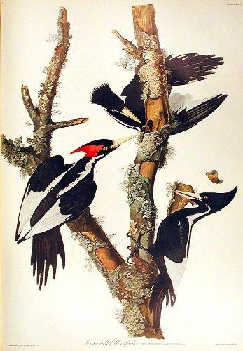Original Audubon Artwork - 3