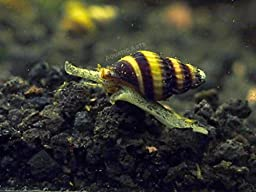 5 Live Assassin Snails (Clea helena - 1/2 to 1 Inch) - Removes All Pest Snails! by Aquatic Arts