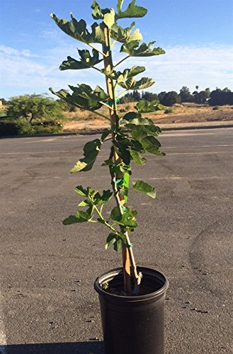 California Brown Turkey Fig Tree Shipped in Soil, Five Gallon Container (Fig Trees California)