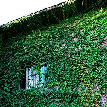 home & garden! Ivy seeds, vines, climbing plants, seedlings tiger lying mountains, 100 seeds germinate lot