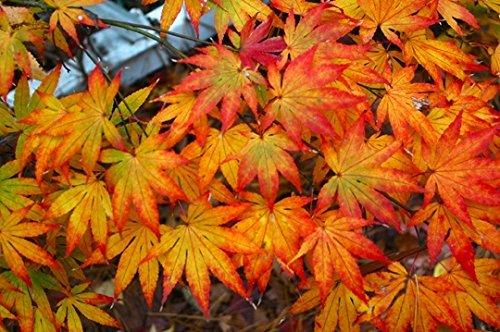 Amazoncom Katsura Hime Japanese Maple 3 Year Graft Garden