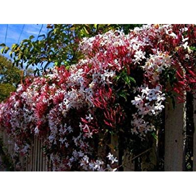 5 Climbing Red Jasmine Seeds Rare Tropical Fragrant Flower Perennial Bloom : Garden & Outdoor