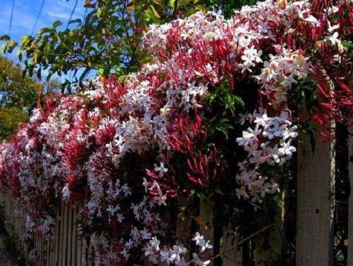 5 Climbing Red Jasmine Seeds Rare Tropical Fragrant Flower Perennial ()