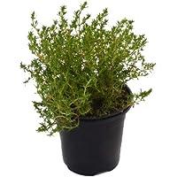 Tomillo Común 10cm Planta Natural en Maceta Thimus Vulgaris