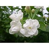 Indian Gardening Live Arabian Jasmine Mogra Plant