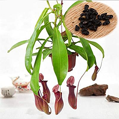 20Pcs/pack Seeds Pitcher Plant Purpurea Foliage Carnivorous Shades Flower Garden New : Baby