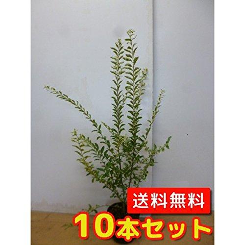 【ノーブランド品】シルバープリペット樹高0.4m前後15cmポット【10本セット】 B00W4VY5LI