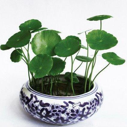Rare Hierloom garden bonsai 20 Gotu kola Seeds Coins gras...