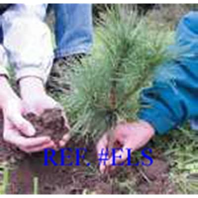 "Evergreen Assortment Transplant Seedlings 6"" to 15"" Tall Qty-12 with Free Spring time Shipment Seedling Gift : Garden & Outdoor"