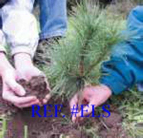 8 Planting White Pine Sapling Trees 12inch Evergreen seedling transplants #HSE by NurserySeedlings.Co (Image #3)