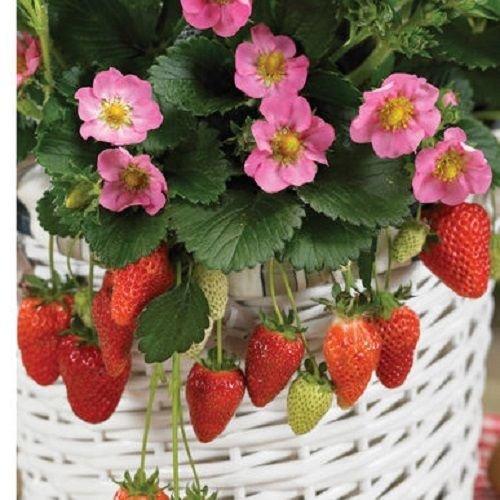 5 Roots of Strawberry, Gasana plants -