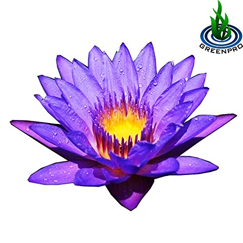 (Nymphaea Emerald Blue) Tropical Water Lily Tuber Live Aquatic Plants for Freshwater Fish Pets Pond Balcony Decorations by ()
