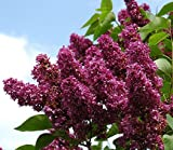 Spectacular Flowering Lilac Charles Joly Potted Plant, Great as a Accent Plant, Starter Plant