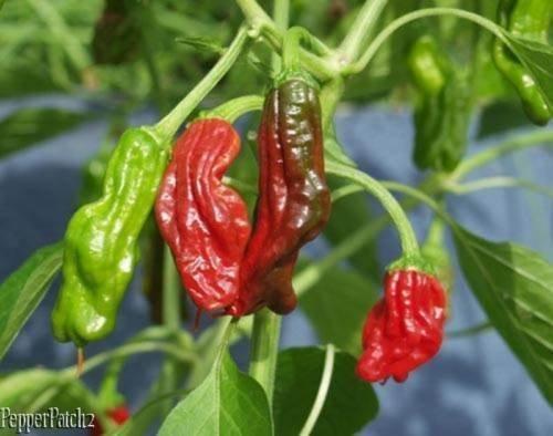 有機的に栽培された25種以上の高級シシート種子 B07C8BBD8N