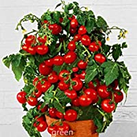 ScoutSeed Semillas Bonsai Tomates Fruta Dulce Mini Cherry